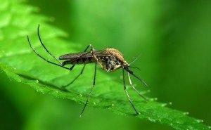 На Кубани комаров-переносчиков опасных заболеваний — от 5 до 7%