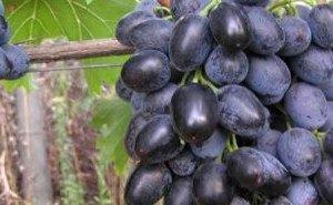 Объём господдержки виноградарства на Кубани увеличивают на 65%