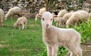 На Кубани займутся популяризацией овечьей шерсти