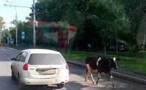 Разгуливающих по Сочи коров и лошадей будут помещать на «штрафстоянку»