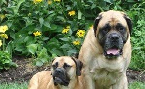 В Сочи пёс насмерть загрыз заводчицу собак