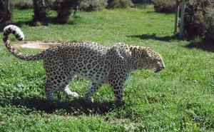 В Сочи на волю выпускают леопардов