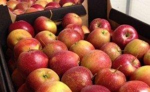 В разгар сбора урожая яблок на кубанских рынках их почти нет