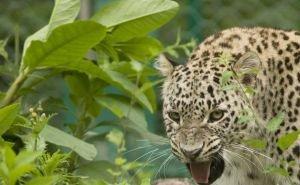 Как выпущенным в Сочи леопардам удаётся избегать фотоловушек?