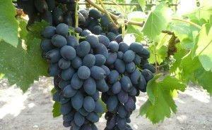 Кубанские виноградари нуждаются в виноградохранилищах