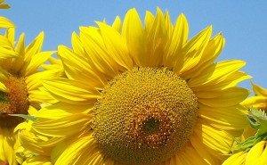 Минсельхоз РФ гордится кубанскими гибридами кукурузы и подсолнечника