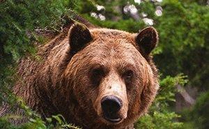 Жителей горного сочинского посёлка Пластунка атакуют медведи