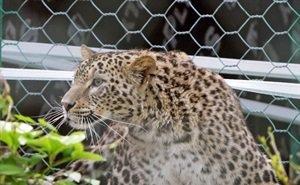Леопардов в Сочи в очередной раз выпустят на волю через два года