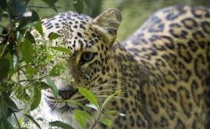 Первая встреча леопарда с людьми закончилась бегством хищника