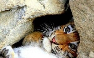 За пропавшего в Сочи тигрёнка Багдасаровы обещают 100 тысяч рублей