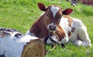 На Кубани выявлено более 1,6 тыс. нарушений по содержанию скота в ЛПХ