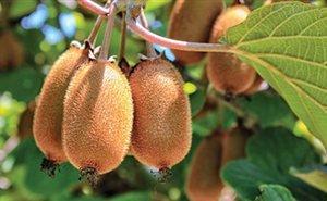 Сочинские учёные знают, как увеличить сбор урожая киви в 1,5-2 раза