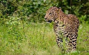 Фотоловушки впервые «поймали» самого скромного из выпущенных в Сочи леопардов