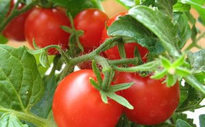 На Кубань проникла томатная моль