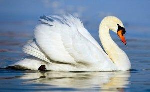 Экологи не исключают, что спасённого в Анапе лебедя хотят съесть на Новый год