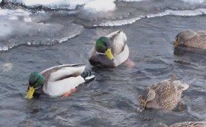 В Краснодаре пересчитают водоплавающих птиц