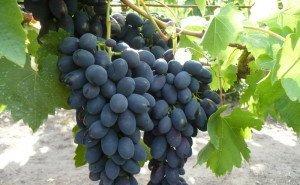 На Кубани создадут виноградный питомник