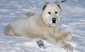 После укусов хозяйской собаки помощь понадобилась самому участковому врачу
