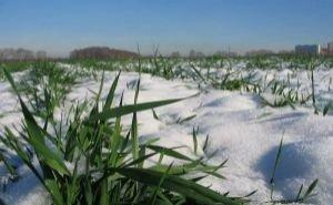 Озимые поля Кубани тревожат Минсельхоз