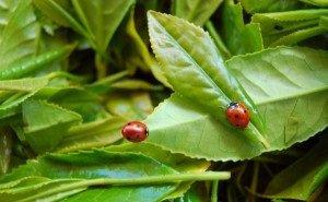 Сочинские чайные плантации готовят к новому урожаю