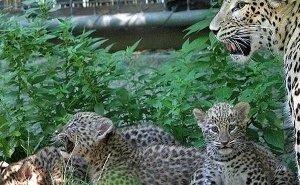 В Сочи трём детёнышам леопарда установили подкожные микрочипы