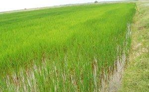 На Кубани впервые за 40 лет готовы построить 320 га рисовых чеков