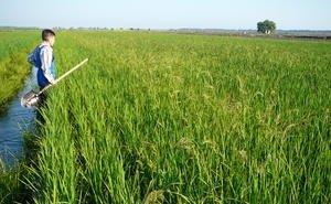 На Кубани разработают структуру рисового севооборота