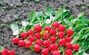 Фермеры Усть-Лабинского района выращивают редис в промышленных масштабах