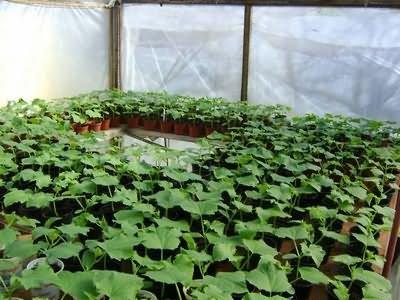 Что необходимо для выращивания рассады?