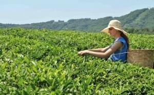 Власти Кубани недовольны работой Ассоциации чаеводов