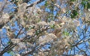 900 тысяч бюджетных денег не спасли Новороссийск от американской белой бабочки