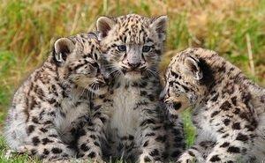 В Сочи готовят к выпуску сразу 6 детёнышей переднеазиатского леопарда