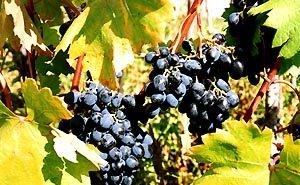На Кубани расширяют площади виноградников