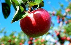 На Кубани выращивается более 40% российских фруктов