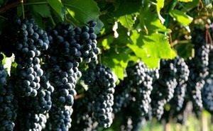 В Краснодарском крае начался сбор винограда