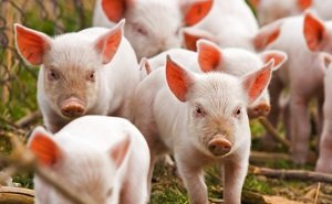 В колониях на Кубани заключённых кормили мясом, заражённым вирусом АЧС