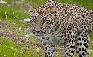 Сочинских леопардов готовят к выпуску в Дагестане и в Северной Осетии