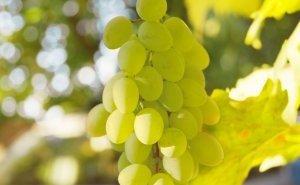 На Кубани появится Центр винной науки и туризма