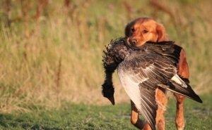 На Кубани право на легальный отстрел животных получило свыше 140 тыс. охотников