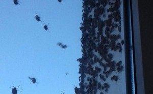 Специалисты не знают, как бороться с нашествием жуков в Новороссийске