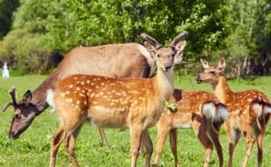 Выращенных на Кубани ланей выпустят в дикую природу в 2019 году