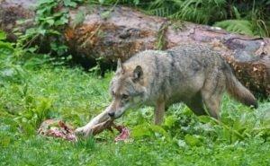 На Кубани численность волков выросла в 3-4 раза