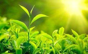 Жара увеличила объём производства зелёного чая в Сочи
