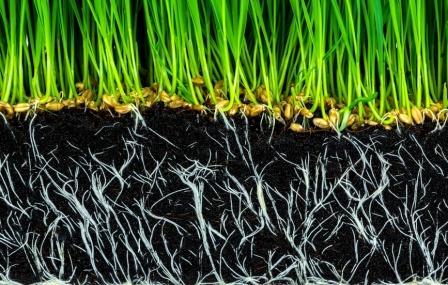 Зеленое удобрение для огорода