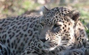 Как поживают выпущенные на волю леопарды