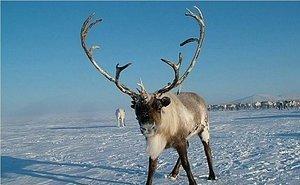 В горах Сочи для туристов открывается оленья ферма