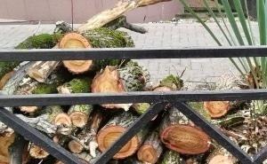 Как в Сочи объяснили массовый спил деревьев
