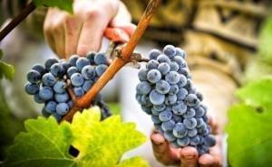В Краснодарском крае выращивается половина российского винограда