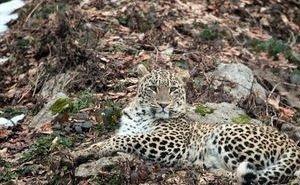 Самку переднеазиатского леопарда нашли мёртвой в горах