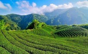 Мацестинские чайные плантации восстановят до уровня советских времён